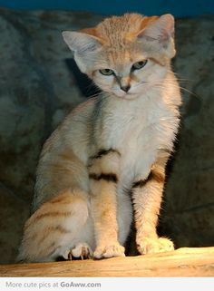 This sandcat is both serious and cute