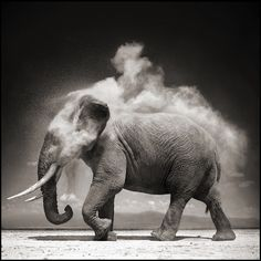 """hirethestache: """" Grey Nick Brandt's photographs of African animals and landscapes are both epic and iconic. It's a vision of Africa that we have not seen before. The photographs of Nick Brandt are. Nick Brandt, Photo Elephant, Elephant Love, Elephant Walk, Alabama Elephant, Beautiful Creatures, Animals Beautiful, Cute Animals, Wild Animals"""