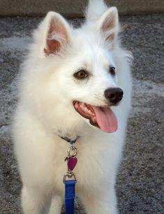 Kanu the American Eskimo Dog