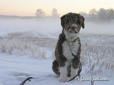 Spanish Water Dog Information and Pictures, Spanish Water Dogs