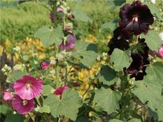 """Fig-Leafed Hollyhock- """"Smell heavenly, get over 6' high and 3' wide. Planted seeds last summer and new plants came up in my sunny side yard in spring, and are coming up this summer in my partially shaded front yard. A couple of plants stayed green and overwintered right through the snow in my Reno, zone 7a climate. The entire plant is edible, except for seeds. I use the flowers candied on cakes and the leaves, stems and roots in stews."""""""