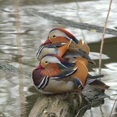 Mandarin ducks...they look like beautiful little boats on the water. <3