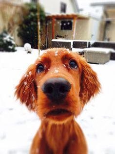 little irish setter - his first snow