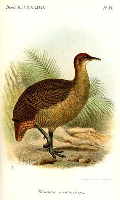 """Great Tinamou (Tinamus major) also called Mountain Hen: one of the most ancient groups of bird, look similar to quail and grouse, but have no close relatives. 17"""" long, like a small turkey. Ranges from light to dark olive-brown with a whitish throat and belly, flanks barred black, and undertail cinnamon. Crown and neck rufous, legs blue-grey All these features serve as camouflage in the rainforest understory. Distantly related to rheas, emu, and kiwi. 47 species worldwide, 4 in Guatemala."""