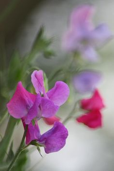 sweet peas...there's a reason 'sweet pea' is a nickname for one you love!