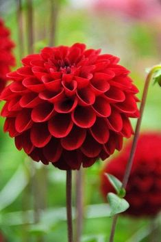 Buy ball dahlia tuber Dahlia Red Fox (PBR) - Bright red pom poms: 1 tuber: Delivery by Crocus All Flowers, Amazing Flowers, Colorful Flowers, Beautiful Flowers, Wedding Flowers, Dahlia Flower, My Flower, Flower Power, Flor Iphone Wallpaper