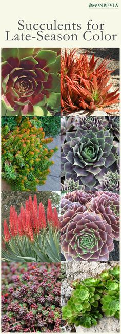 Succulents for Late-Season Color. Succulents have become stars of the summer garden world over the past few years, and it's easy to see why. Water-wise, fuss-free, sculptural, colorful and just plain cool, they're one of this decade's must-have plants. From the large leaves and colorful blooms of echeveria to cold-hardy stonecrop and the spectacular flowers of South African agave-like aloes, there's a succulent to brighten most winter gardens.