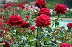 Подкормка роз – важный элемент пышного цветения и здоровья кустов