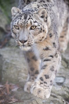 FunkySafari — Snow leopard by Eric Kilby Big Cats, Cool Cats, Cats And Kittens, Large Animals, Animals And Pets, Cute Animals, Beautiful Creatures, Animals Beautiful, Gato Grande