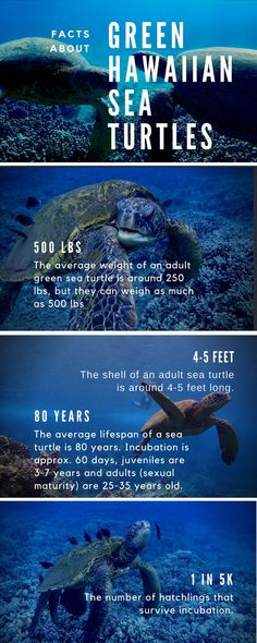 Can you believe a sea turtle can weigh up to 500 lbs? That's crazy! This and more fun facts... #Maui #Hawaii