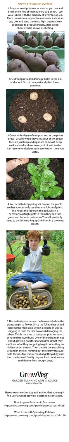 How to grow potatoes in containers, how to chit them, earth them up and harvest them.