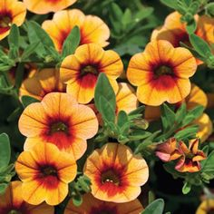 """<p> <span style=""""font-style: italic;"""">Calibrachoa hybrid</span><br /> <br /> Apricot orange blooms with a dark red throat.<br /> <br /> Also known as a million bells, these perennials have masses of small petunia like flowers from early spring to late autumn. It has a cascading growth habit that makes it ideal for hanging baskets%2..."""