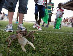 Crab racing in Tobago