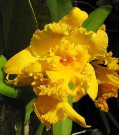 Looks almost like an iris.  Cattleya labiata (Linden) Schltr.
