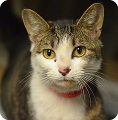 URGENT!! ACCT PHILLY: Philadelphia, PA - Domestic Shorthair. Meet Baby Doo, a cat for adoption.      Breed: Domestic Shorthair     Color: Brown Tabby     Age: Young     Sex: Female     ID#: A19431358     Hair: Short  Act quickly to adopt Baby Doo. Pets at this Shelter may be held for only a short time. http://www.adoptapet.com/pet/11512673-philadelphia-pennsylvania-cat