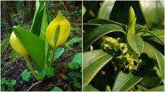 Göründüğü kadar masum olmayan, sizi öldürebilecek 10 bitki-  #doğa #zehirlibitkiler