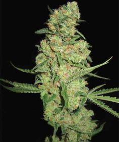 Pyramid Seeds - Galaxy (Feminized)