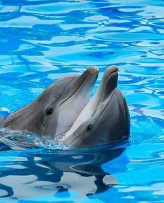 BLOG OBRAZKI: DELFINY Dolphin Photos, Dolphin Art, The Ocean, Clearwater Marine Aquarium, Bottlenose Dolphin, Humpback Whale, Underwater Animals, Ocean Creatures, Tier Fotos
