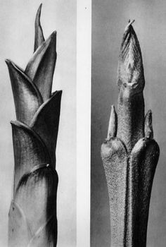 About the Photographer:An artist, teacher, sculptor and photographer from Germany, Karl Blossfeldt – worked in Berlin. He was inspired by nature and reflected this muse in his close-up photography of plants. Close Up Photography, History Of Photography, Nature Photography, Karl Blossfeldt, Bio Design, Natural Form Art, Hosta Plants, Fotografia Macro, Nature Images