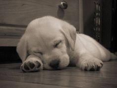 Sleeping #labradorretriever