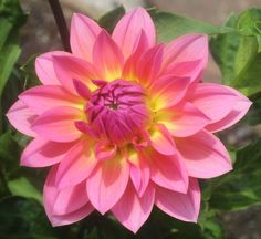 Jitterbug  Dahlia Tuber by DavesDahlias on Etsy