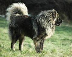 All To Know About Caucasian Mountain Shepherd or Caucasian Shepherd Dog Caucasian Shepherd Dog, Dresden Files, Loyal Dogs, Paws And Claws, Types Of Dogs, Mountain Dogs, Beautiful Dogs, Mans Best Friend, Best Dogs