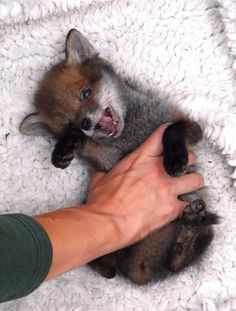 Fox Puppy, I WANT ONE.