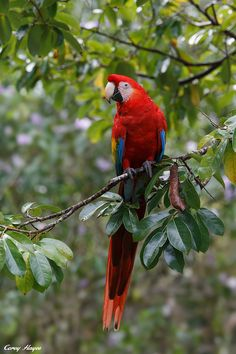 Scarlet-Macaw (by Corey Hayes)