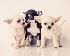 Chihuahuas are known to be charming, and these three just tug on those heart strings. #Chihuahua