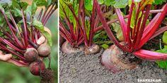 Τα παντζάρια είναι μια ιδανική καλλιέργεια για όσους έχουν περιορισμένο χώρο στον κήπο τους. Το πλεο