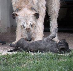 Irish Wolfhound and puppy