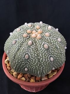 Astrophytum Asterias Sea Urchin Cactus...a really beautiful example