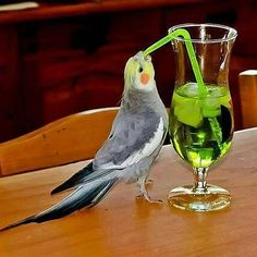 21 Funny animals pictures with funny cockatoo sucking from a straw. Funny animal pictures with captions. Funny Birds, Cute Birds, Pretty Birds, Beautiful Birds, Bird Pictures, Funny Animal Pictures, Funny Animals, Cute Animals, Crazy Pictures