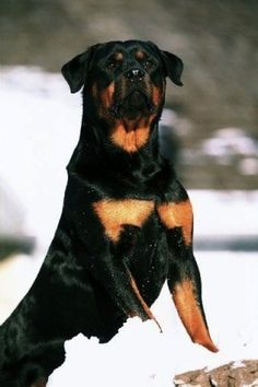 standing proudly in the snow ( #dogs #rotty #rottweilers ) ✌eace | H U M A N™ | нυмanACOUSTICS™ | н2TV™