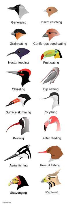 Evolution at Work: Beak Adaptations of Birds