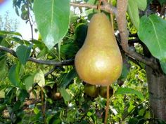 While Bosc Pears are not a Canadian cultivar they are widely grown across Canada and have been extensively trialed. Developed in 1807 by Dr. John-Baptise Van Mons in Belgium, growing Bosc pears is not for the impatient. The trees are difficult to propagate and take a long time to start producing fruit. That being said, it's well worth the wait. Once the trees become productive, they produce regular and abundant crops.