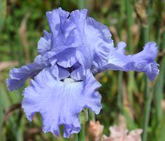 TB Iris germanica 'Caribbean Dream' (Schreiner, 1990)