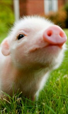 A cute mini pig or a cute micro pig or you may call them baby pigs, these cute and funny animals will surely lift your mood. Enjoy this videos compilation of. Cute Baby Pigs, Cute Piglets, Cute Baby Animals, Animals And Pets, Funny Animals, Cute Babies, Farm Animals, Baby Piglets, Wild Animals