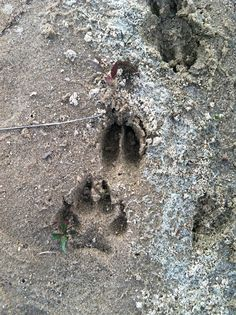 Wolf paw print by the water on Lake Laura, Vilas County Wisconsin