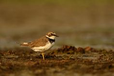 Little Ringed Plover in Golden Light