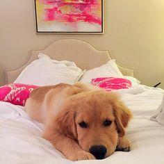 Golden Retriever puppy cute bedroom style