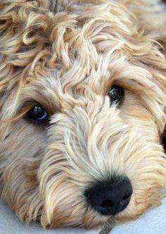 Goldendoodle. Melt my heart!