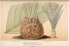 Drakensberg Cycad - Encephalartos ghellinckii - Cycad endemic to South Africa - circa 1867