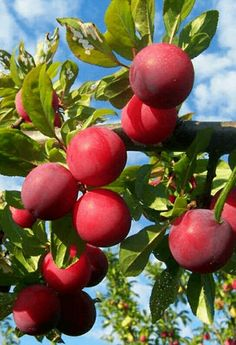 Santa Rosa Plum tree yields an abundant harvest of sweet and juicy fruit every summer. Apple Fruit, Fruit And Veg, Fruits And Vegetables, Fresh Fruit, Plum Tree, Fruit Photography, Beautiful Fruits, Juicy Fruit, Exotic Fruit
