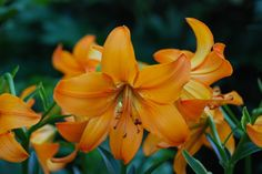 Lily (Lilium 'Showtime') uploaded by bearsearch