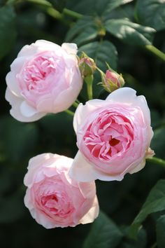 Rosa 'Scepter'd Isle'