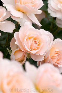 Rosa 'Chrystal Palace', Rose