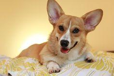 Is a Corgi a good dog for you....Corgi Breed Info http://puppyexpressions.tumblr.com/post/67551688332/corgibreedinfo