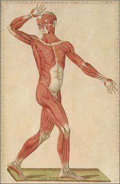 Tab. XXX. Romanae archetypae tabulae anatomicae novis.  [https://pinterest.com/pin/287386019942635678] Rome, 1783. Hand colored copperplate engraving. National Library of Medicine.  Bartolomeo Eustachi (d. 1574) [anatomist: http://www.pinterest.com/pin/287386019944076869/]  Giulio de'Musi [artist].