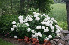 Incrediball® - Smooth Hydrangea - Hydrangea arborescens